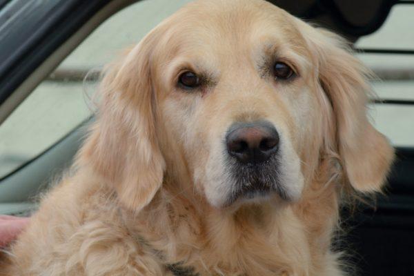 dog back of car
