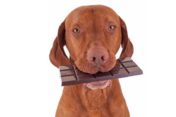 dog eating chocolate