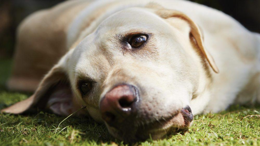 dog looking sad & unwell