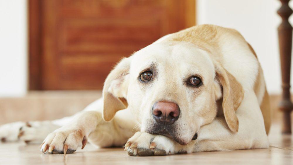 dog looking sad and unwell