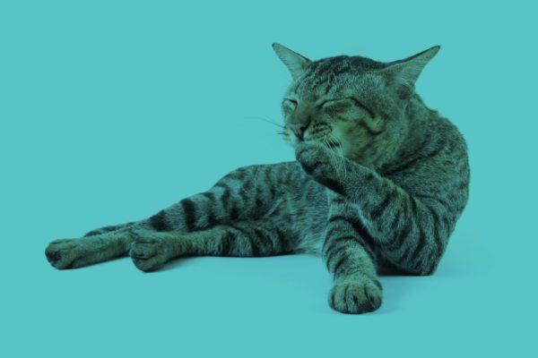 cat licking wound
