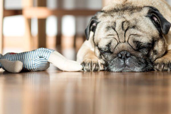 pug dreaming