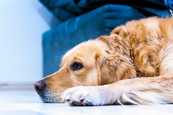 sad looking golden retriever