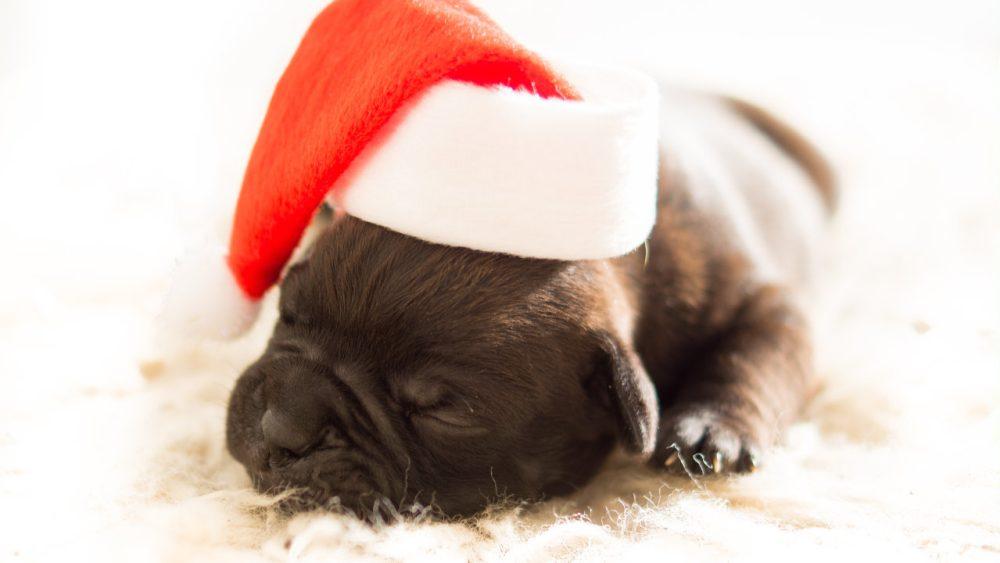 baby pug with christmas hat